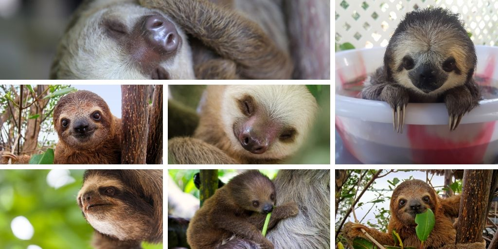 More Adorable Baby Sloths
