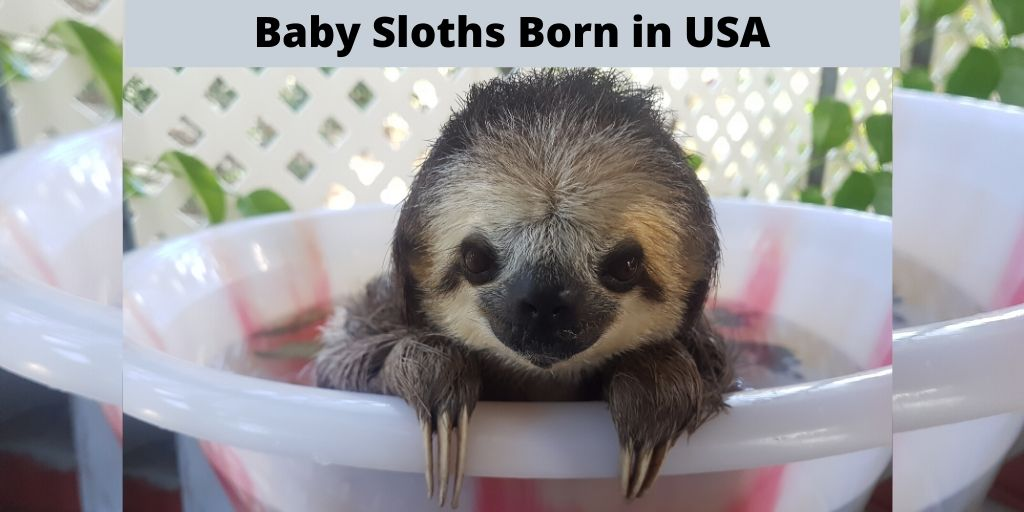 Sweet Little Baby Sloths Born in the USA in 2019