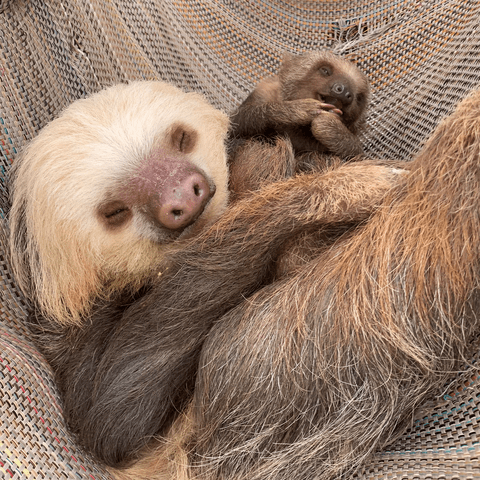 little baby sloth is Bean a Hoffmann 2-toed sloth