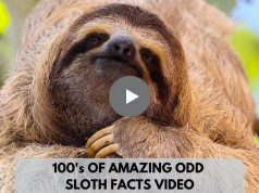 100s of Amazing Odd Sloth Facts Video
