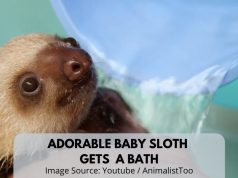 Adorable Baby Sloth Gets A Bath In a Three Minute Video