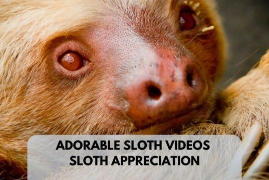 Adorable Cool Sloth Videos Lucy Cooke Sloth Appreciation