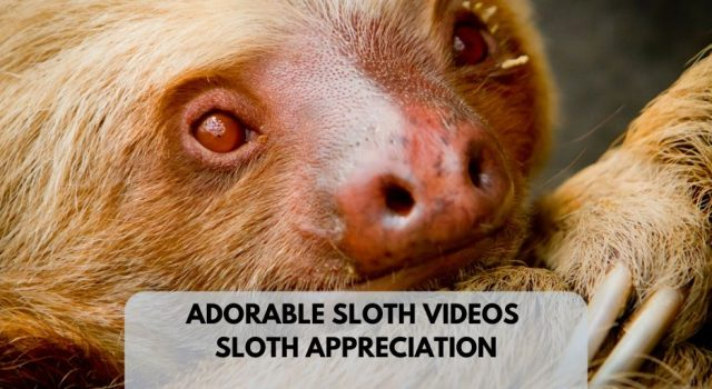 Adorable Cool Sloth Videos Lucy Cooke Sloth Appreciation