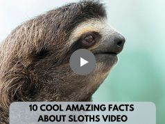 Cool Amazing Facts About Sloths VideoCool Amazing Facts About Sloths Video