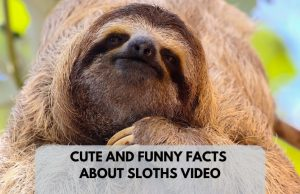 Cute And Funny Sloth Facts Two Minute Video To Enjoy