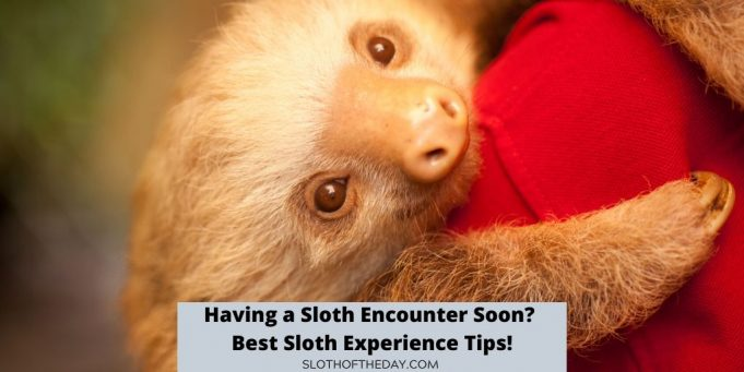 Having a Sloth Encounter Soon Best Sloth Experience Tips