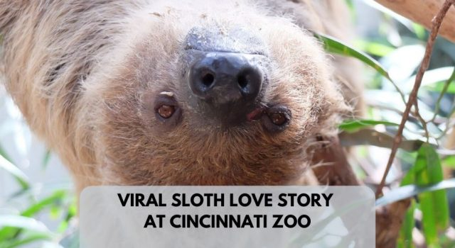Viral Sloth Love Story Where 2 Sloths Find A SLow Romance
