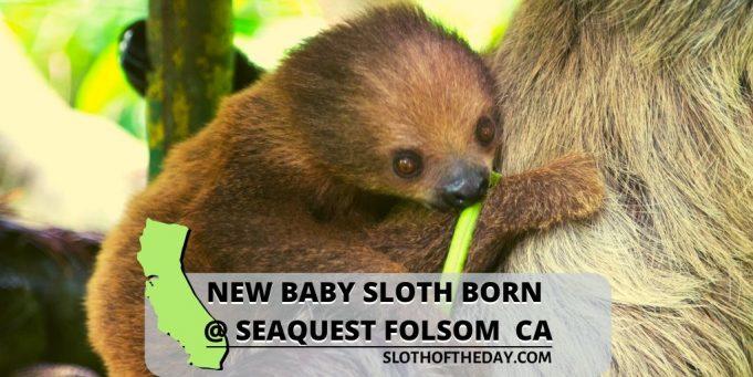 Folsom California Seaquest New Baby Sloth at Seaquest Folsom New Baby Sloth