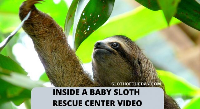 Inside a Baby Sloth Orphanage and Rescue Center Video Sloth Of The Day