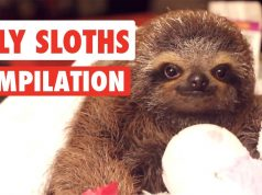 Silly Sloths Video Compilation \