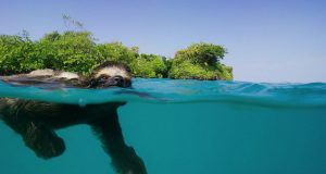 Adorable Swimming Sloth Looking for Love Video