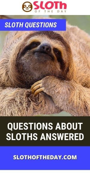 Sloth Questions 37 Questions About Sloths Answered