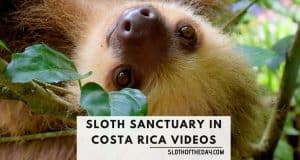 Sloth Sanctuary In Costa Rica Videos Sloth of The Day