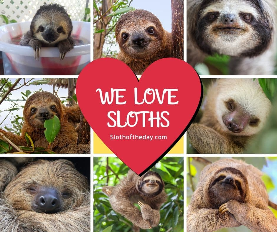 Sloth of The Day We Love Sloths Facebook Image