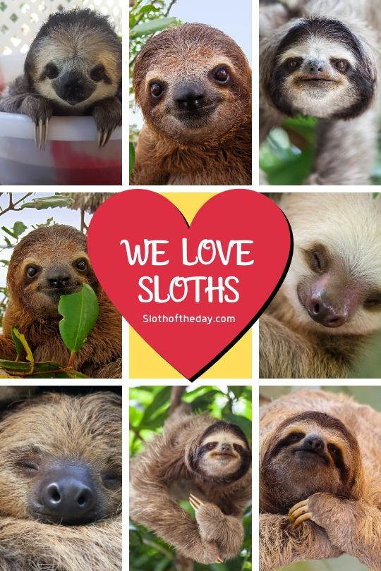 Sloth of The Day We Love Sloths Tumblr Image
