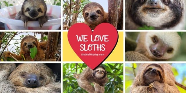 Sloth of The Day We Love Sloths Twitter Image