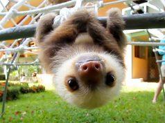 Pennsylvania Mall Sloth