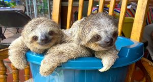 Cute Adorable Baby Sloths Learn To Climb Video