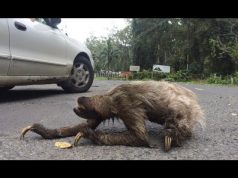 Sloth Crossing A Road Very Slowly Saved Video
