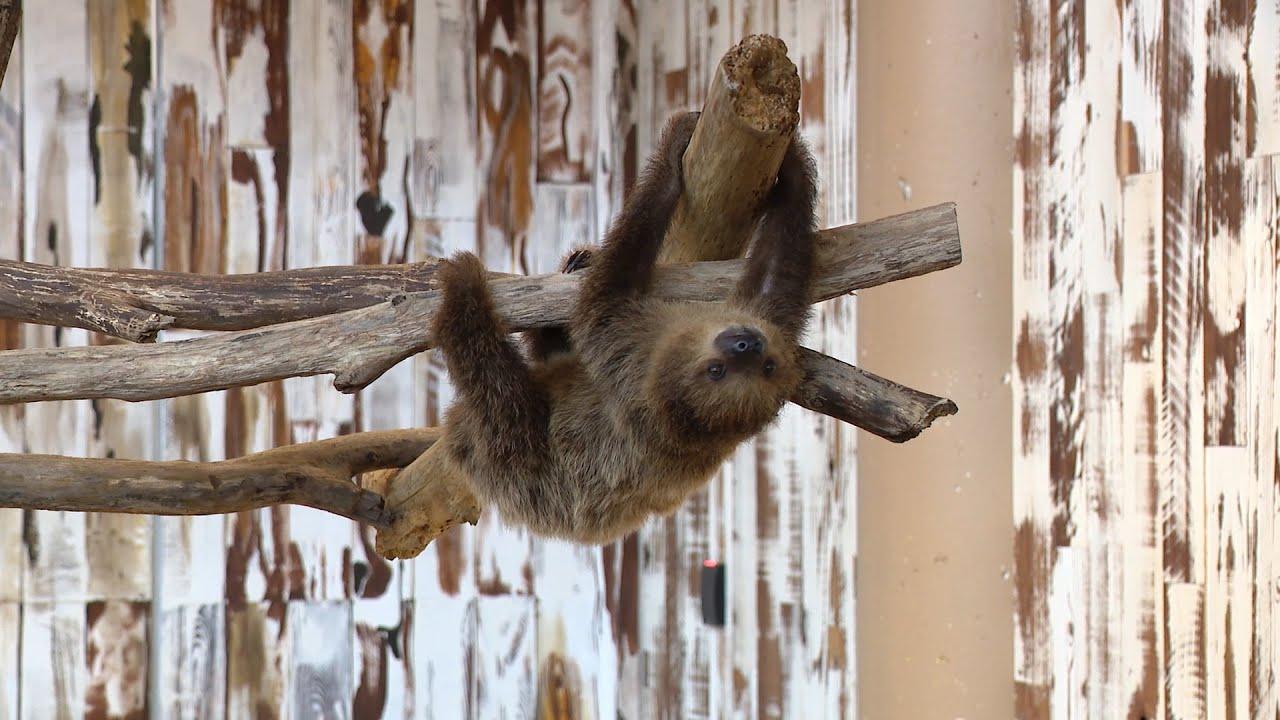 Meet Coconut the Sloth St. Louis Aquarium's New Ambassador