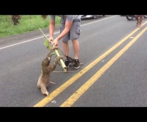 A Sloth Rescue Where the Sloth Stops to Say Thanks