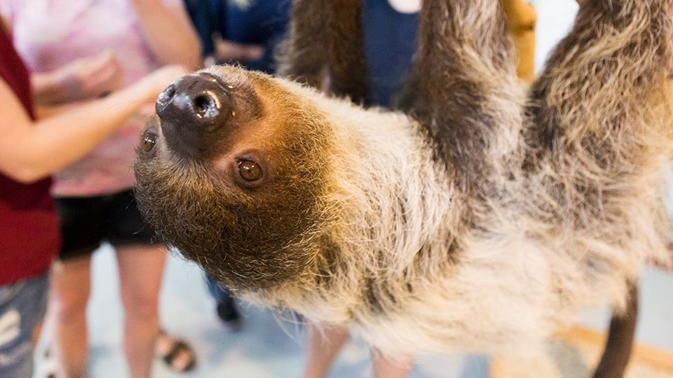 Sloth Hanging Around
