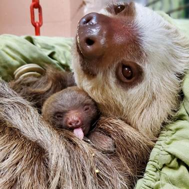 Pancakes the Sloth Can Be Seen at Staten Island Zoo New York Sloths