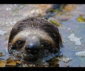 How Well Do Sloths Swim? Very Well As It Turns Out.
