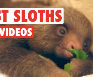 Amazing Sloth Video Compilation by the Pet Collective