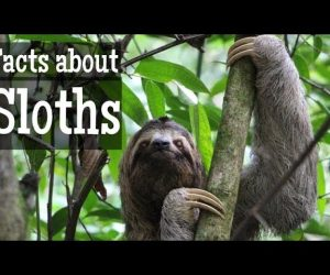 Sloth Facts for Kids | Classroom Learning Video