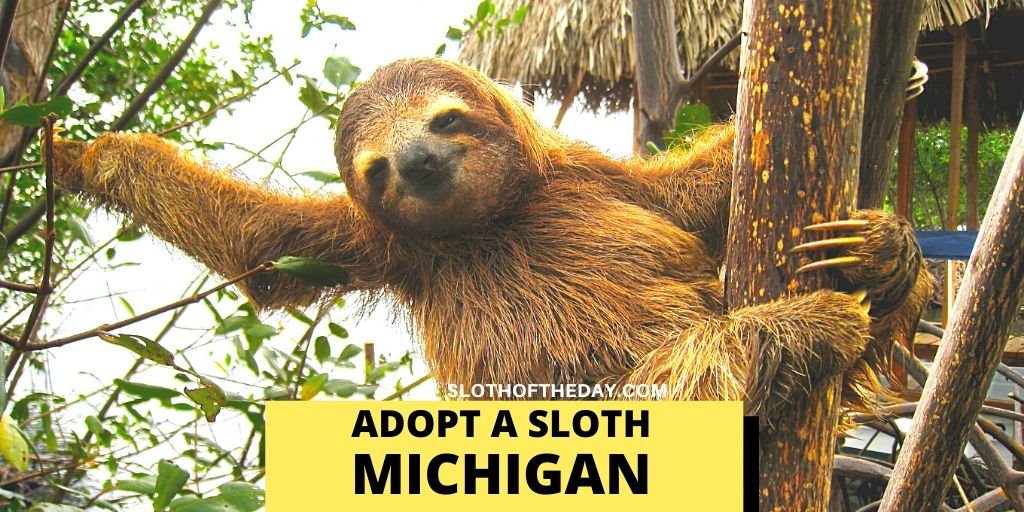 Baby Sloth Adoption in Michigan - Sloth of The Day