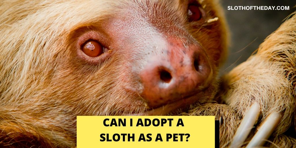 Can I Adopt a Sloth as a Pet - Sloth of The Day