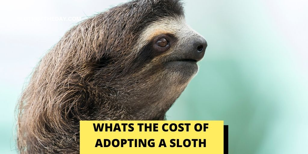 How Much Does Adopting a Sloth Cost - Sloth of The Day