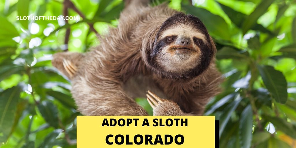 Is Adopting a Sloth in Colorado Possible