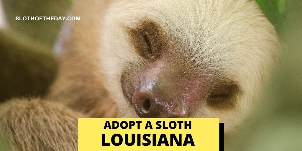 Sloth Adopting Program in Louisiana - Sloth of The Day
