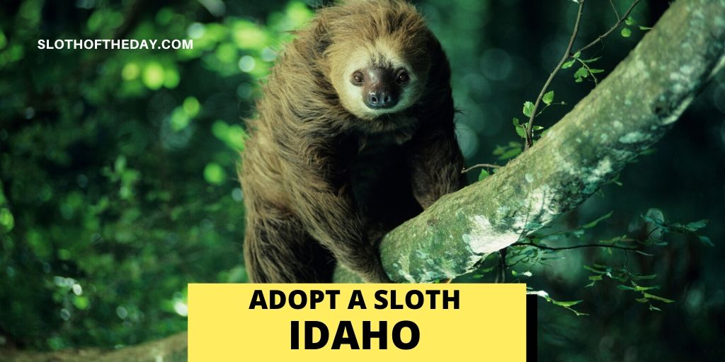 Sloth Adopting Sanctuary in Idaho - Sloth of The Day