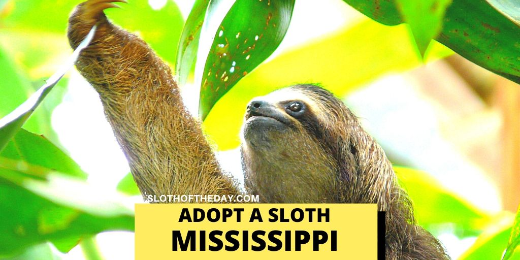 Two-Toed Sloth Adopting in Mississippi