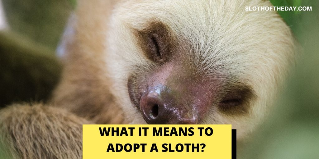 What It Means To Adopt a Sloth - Sloth of The Day