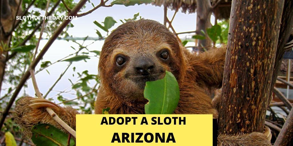 Sloth in Arizona