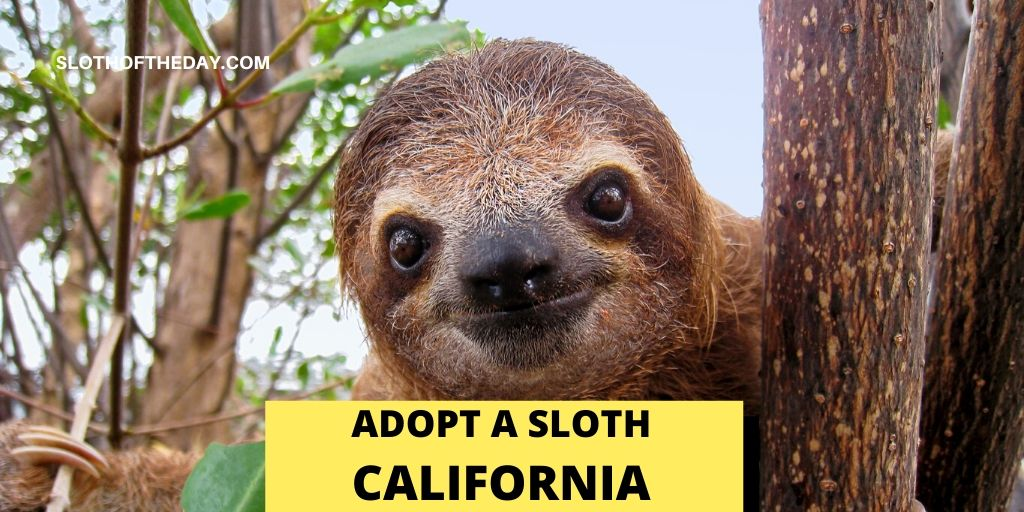 Sloth in California - Sloth of The Day