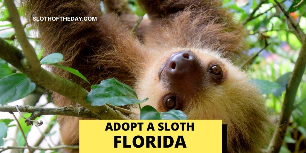 sloth in florida - Sloth of The Day