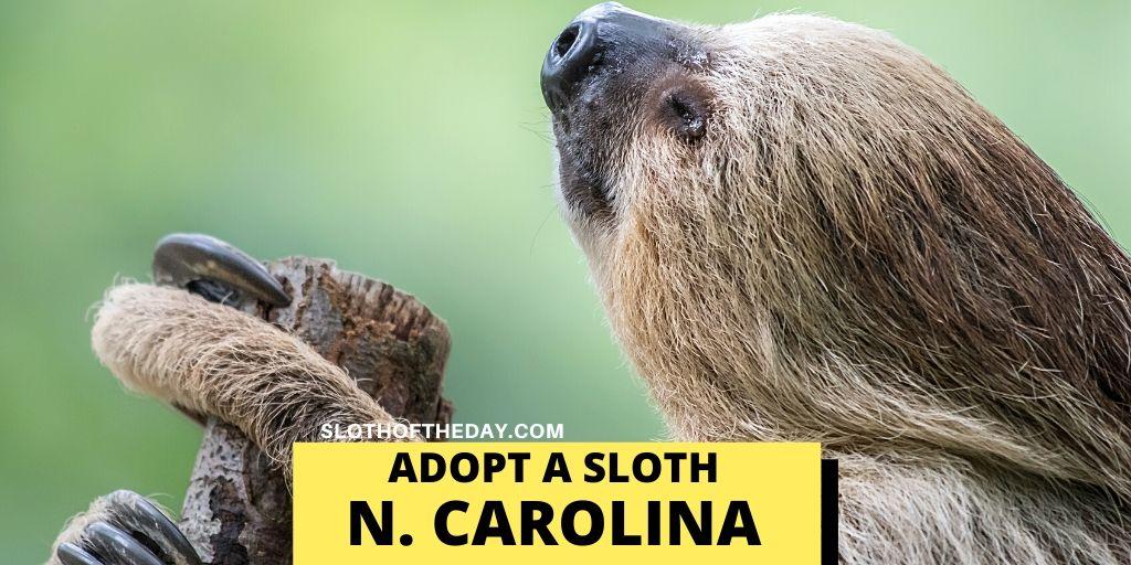 Adopting Sloths in North Carolina - Sloth of The Day