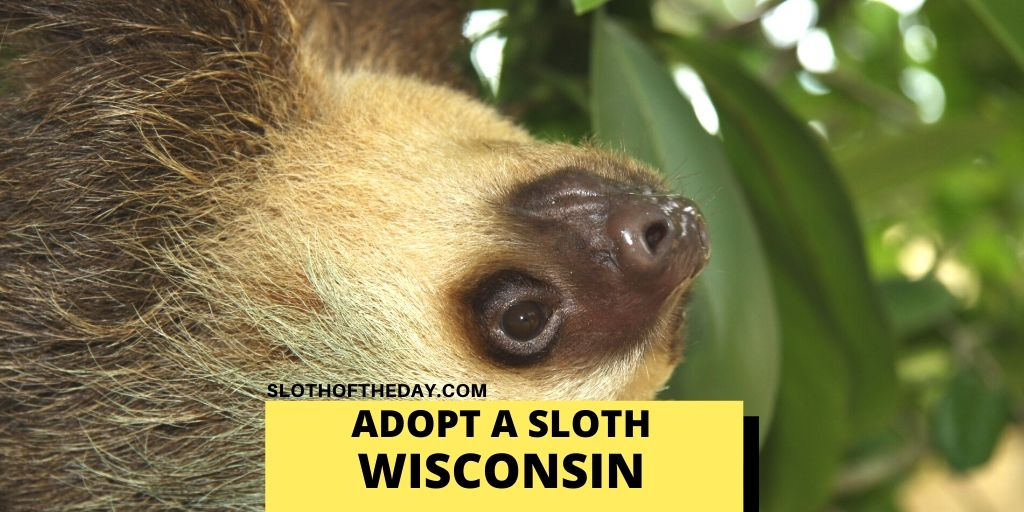 Adopting Sloths in Wisconsin Sloth of The Day