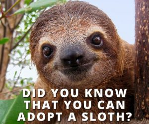 Did You Know You Could Adopt A Sloth?