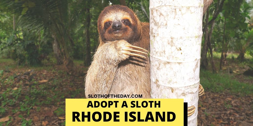 Rhode Island Sloths Adoptions - Sloth of The Day