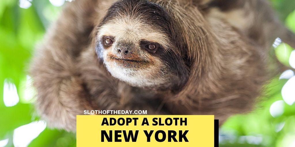 Symbolic Sloth Adoption in New York - Sloth of The Day