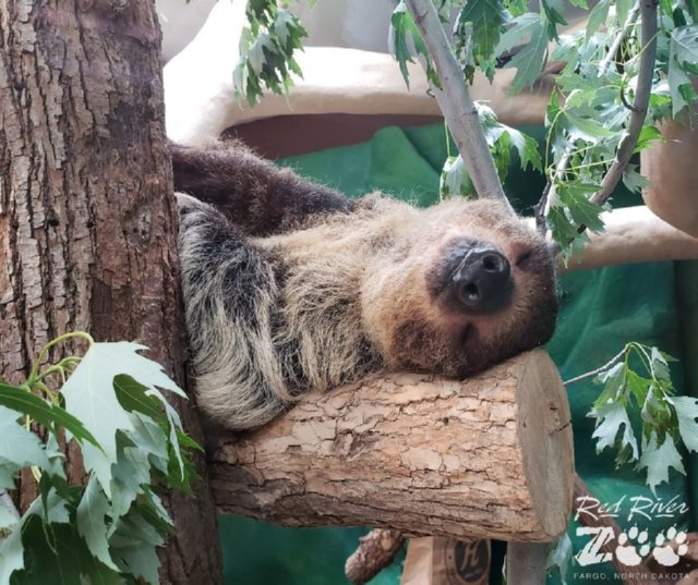 Milo The Sloth Napping
