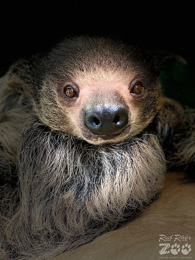 Milo The Sloth at The Red River Zoo