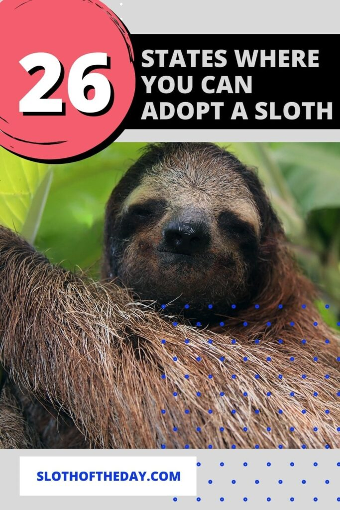 26 States Where You Can Adopt a Sloth
