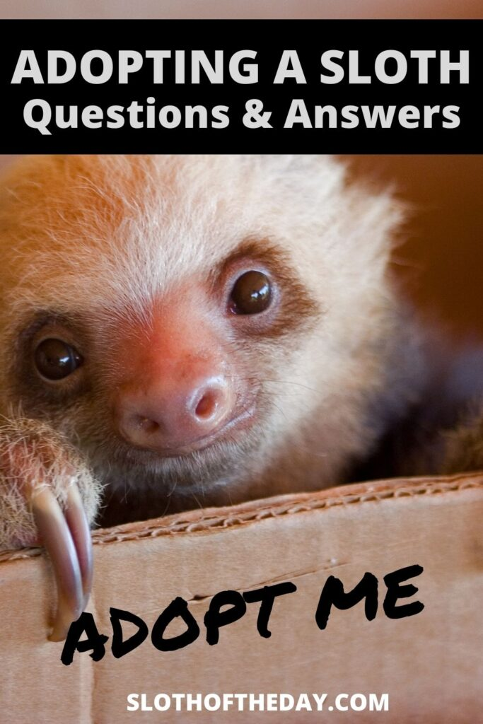 Adopting a Sloth Questions and Answers by Sloth of The Day Pinterest Pin